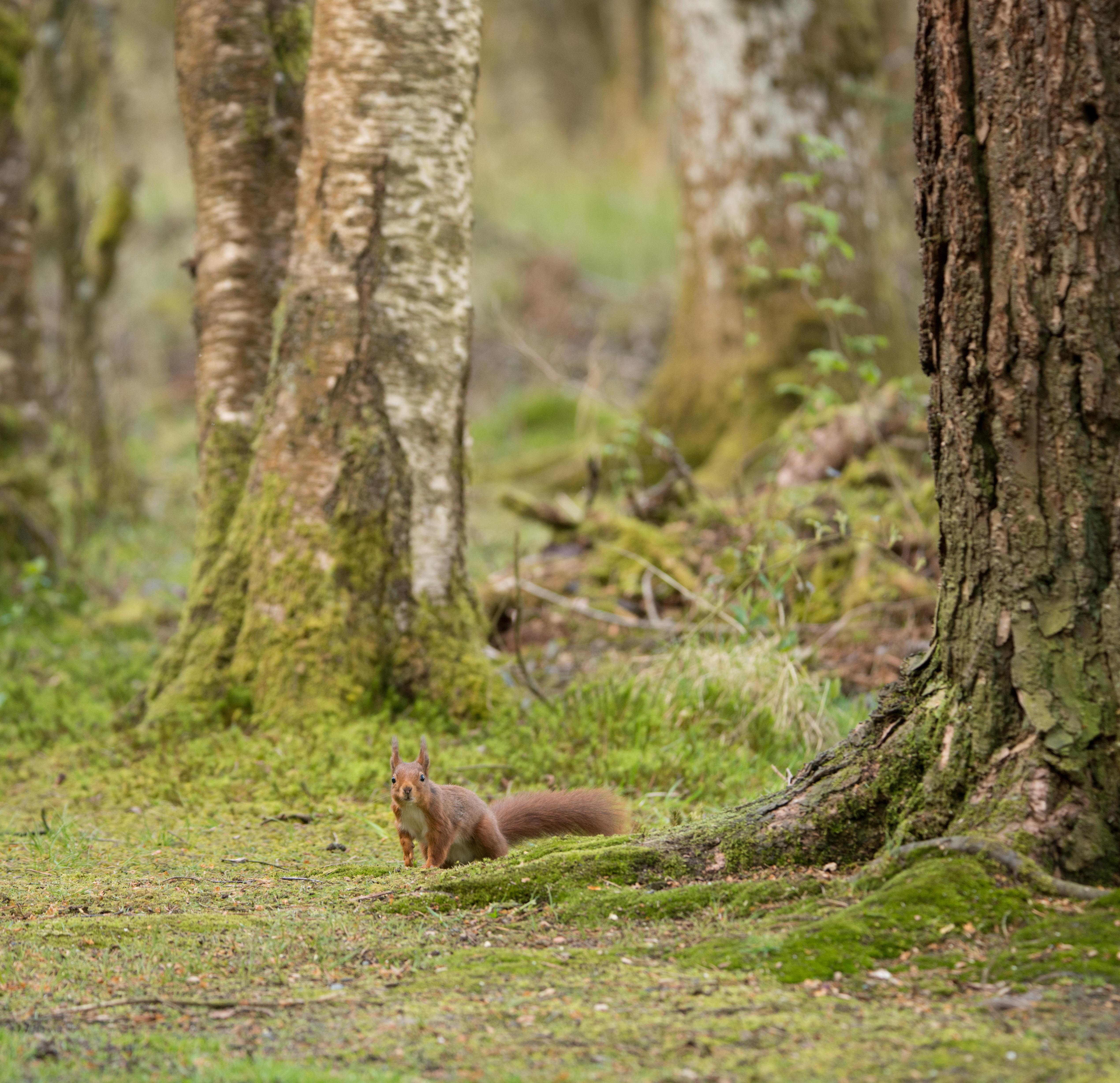 Red Squirrel in woodland-6936.jpg