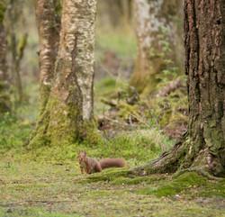 Red Squirrel in woodland-6936.jpg