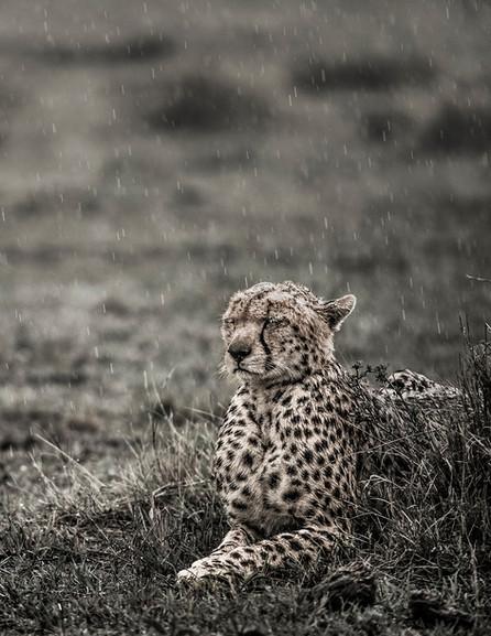 WPOTY cheetah in rain 1920pixels-1184.jp