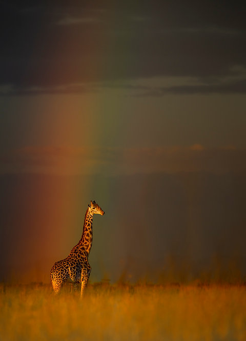 Golden Giraffe At The End Of The Rainbow