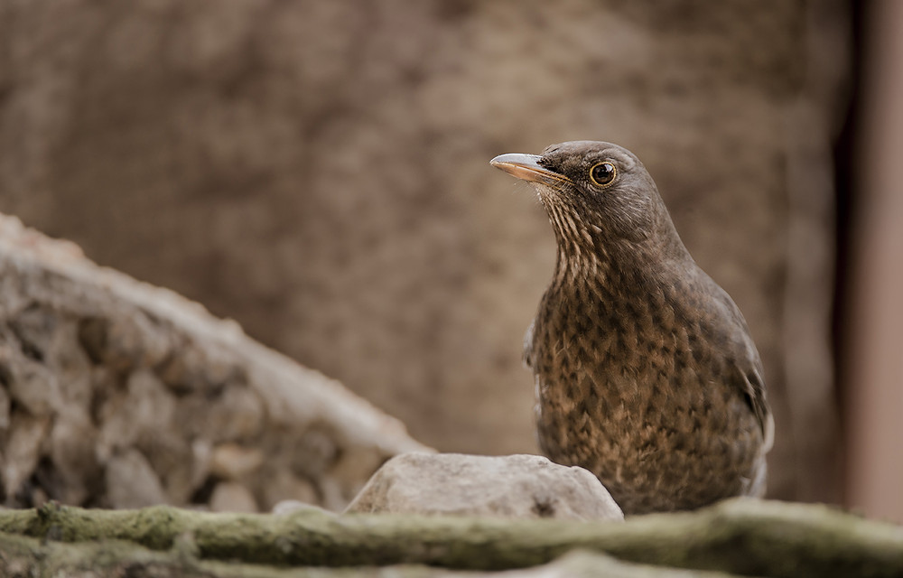 Trai Anfield Photography Safaris | Rewilding | Conservation | blackbird