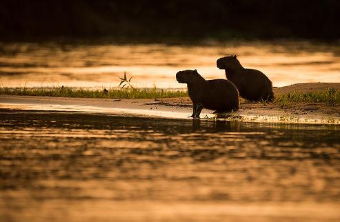 Brazil Photography Safari Trai Anfield Photography capybara silhouettes_WEB.JPG