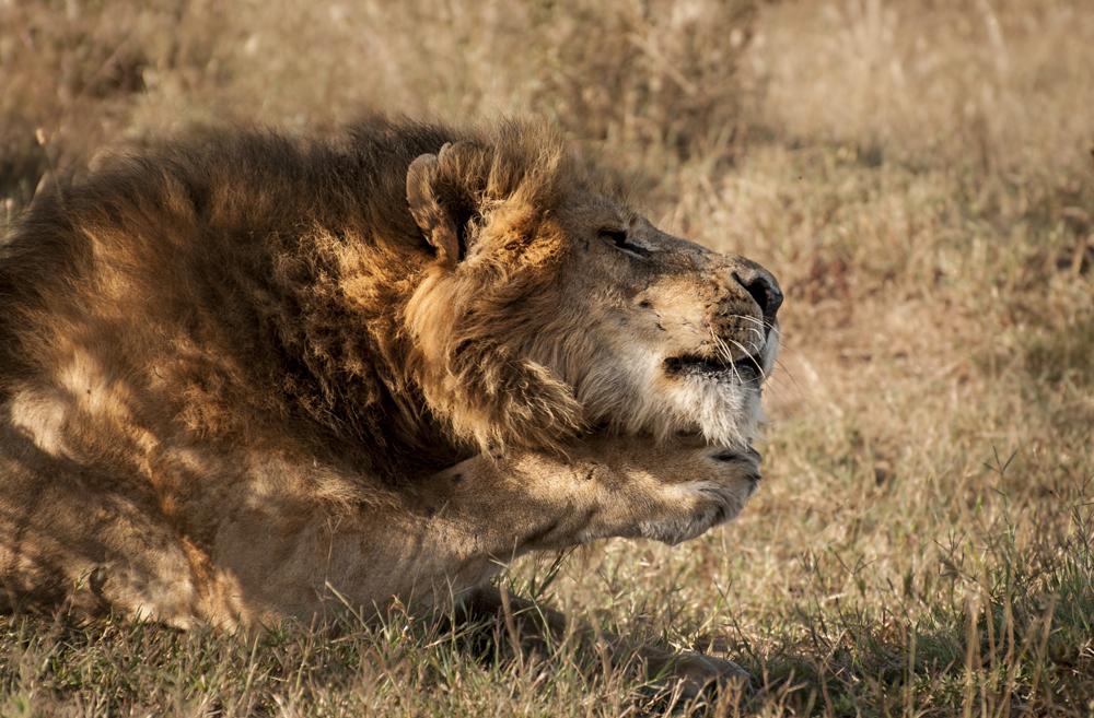 _DSC2818Lion Maasai Mara Kenya.jpg