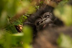 _DSC6894Mountain Gorilla, Rwanda, Volcanoes National Park.jpg