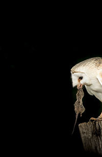 Raptors workshop image barn owl with prey