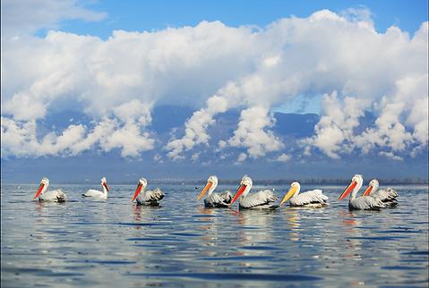 Greece pelicans flock.png
