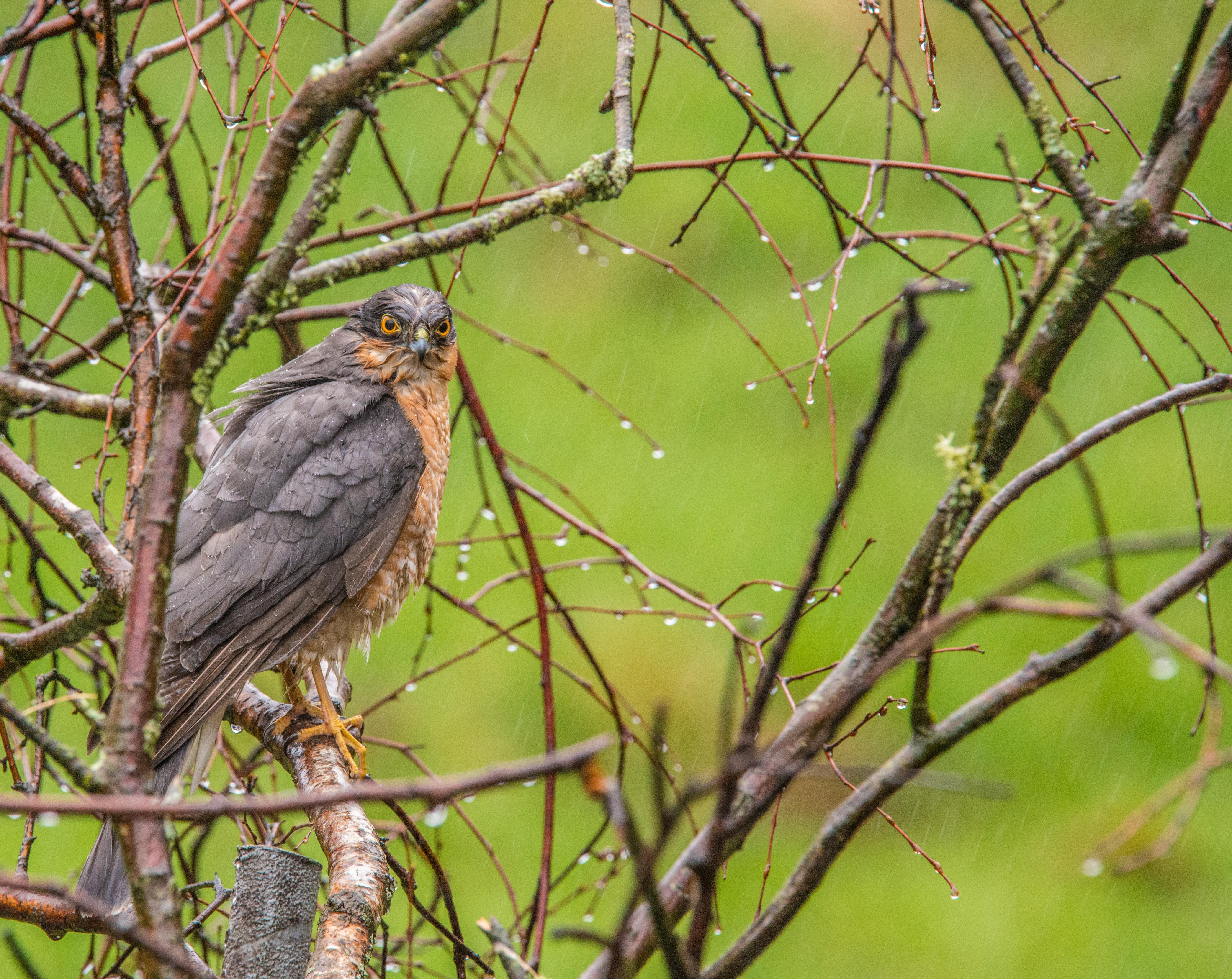 Sparrow Hawk - in the tree-5835.jpg