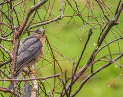 Sparrow Hawk - in the tree-5835.jpg