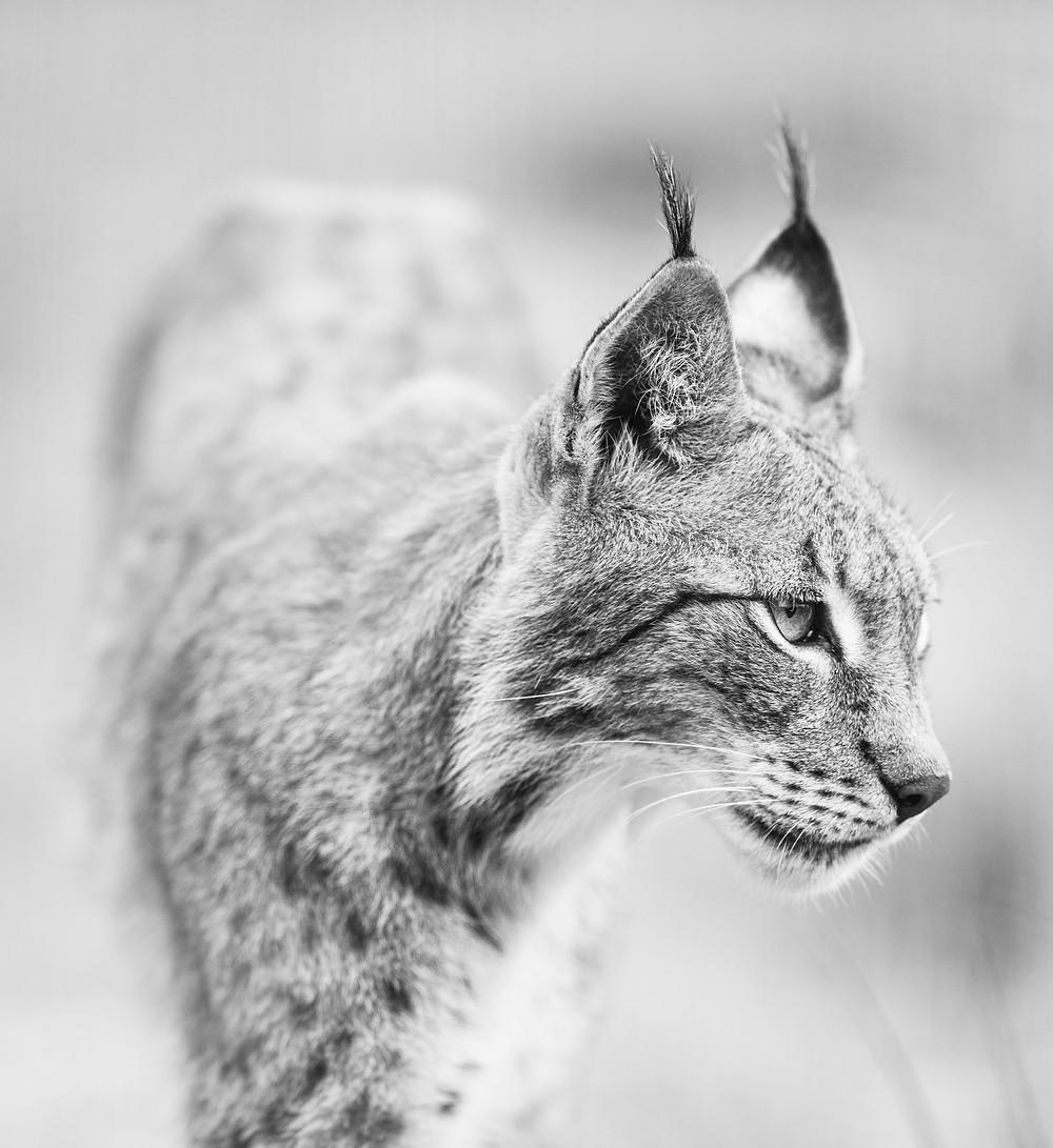 British wildlife photography workshop | lynx | portrait | black and white photography | Trai Anfield