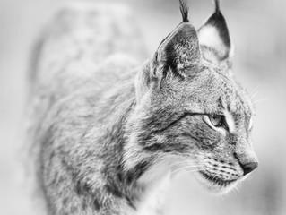 British Wildlife Photography Workshop – With Big Cats!