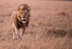 _DSC5064-2Lion Maasai Mara Kenya.jpg