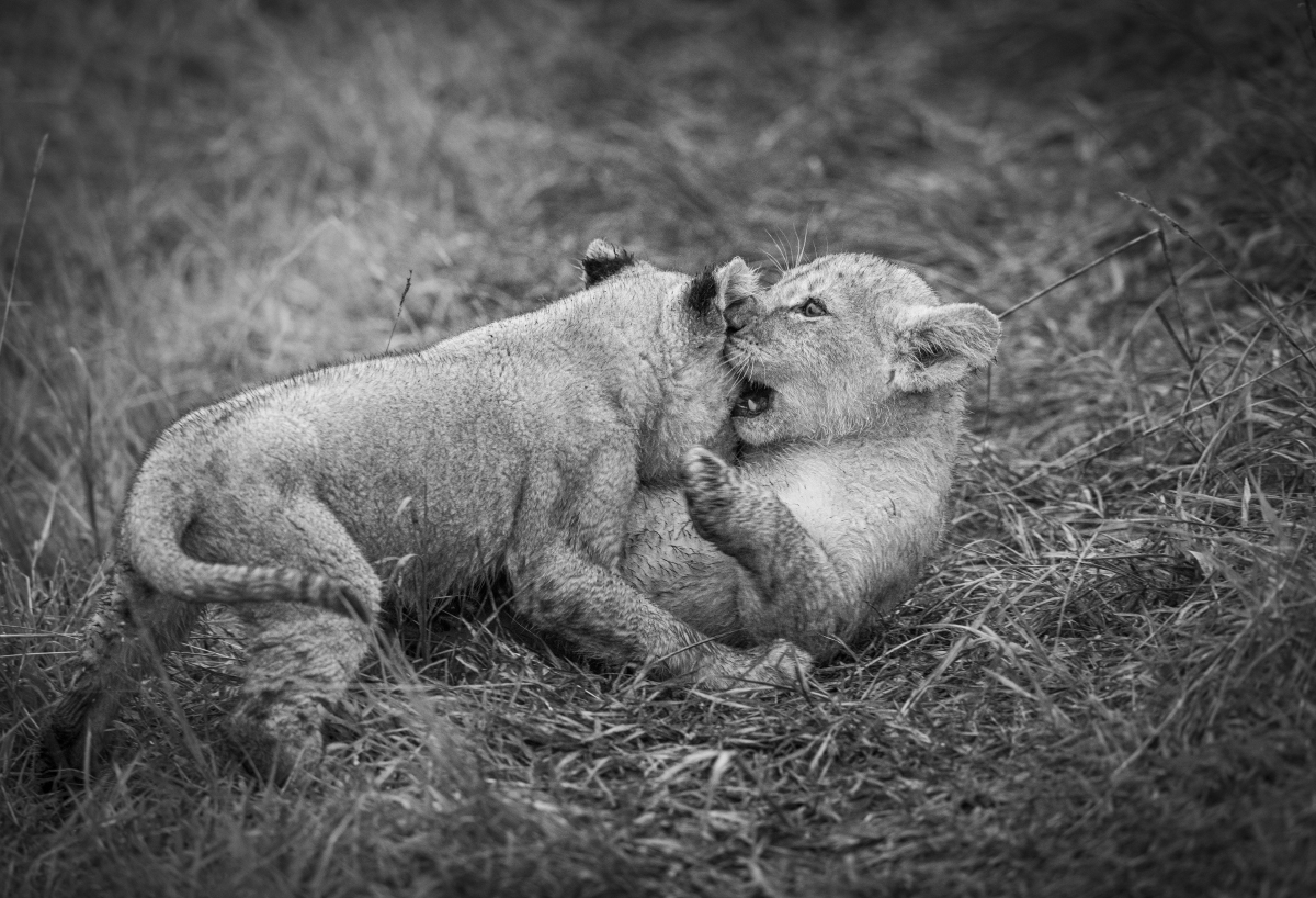 Trai Anfield lion cubs playing b&w-6199.