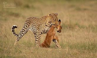 Trai Anfield Photography Safaris leopard