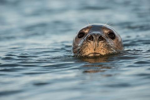 Farne Islands Seal