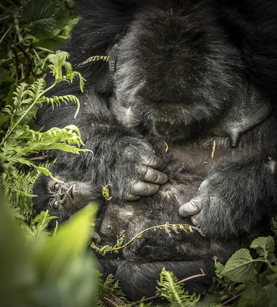 Rwanda 2016 gorilla x2_WEB-4796.jpg