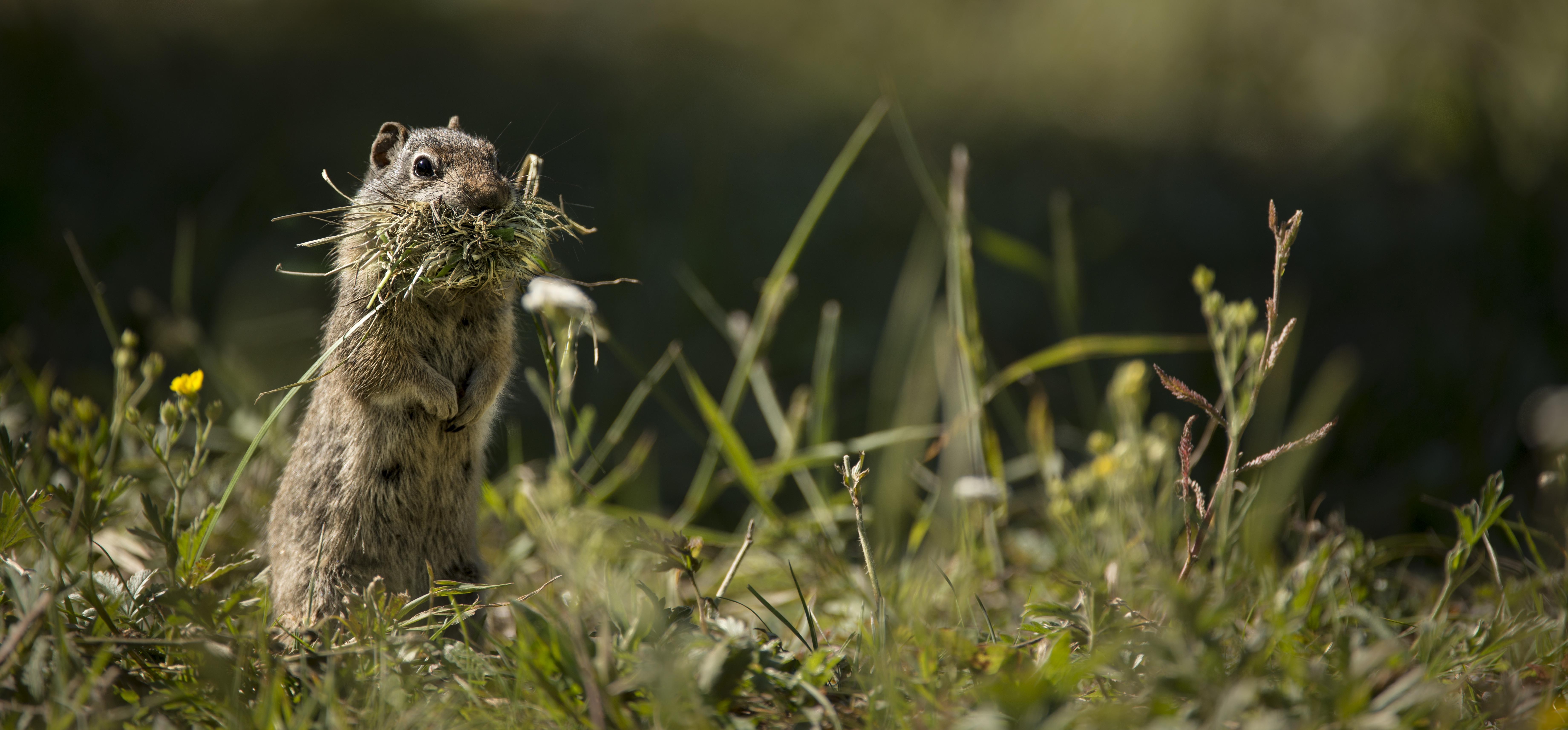 ground squirrel_DSC9319.jpg