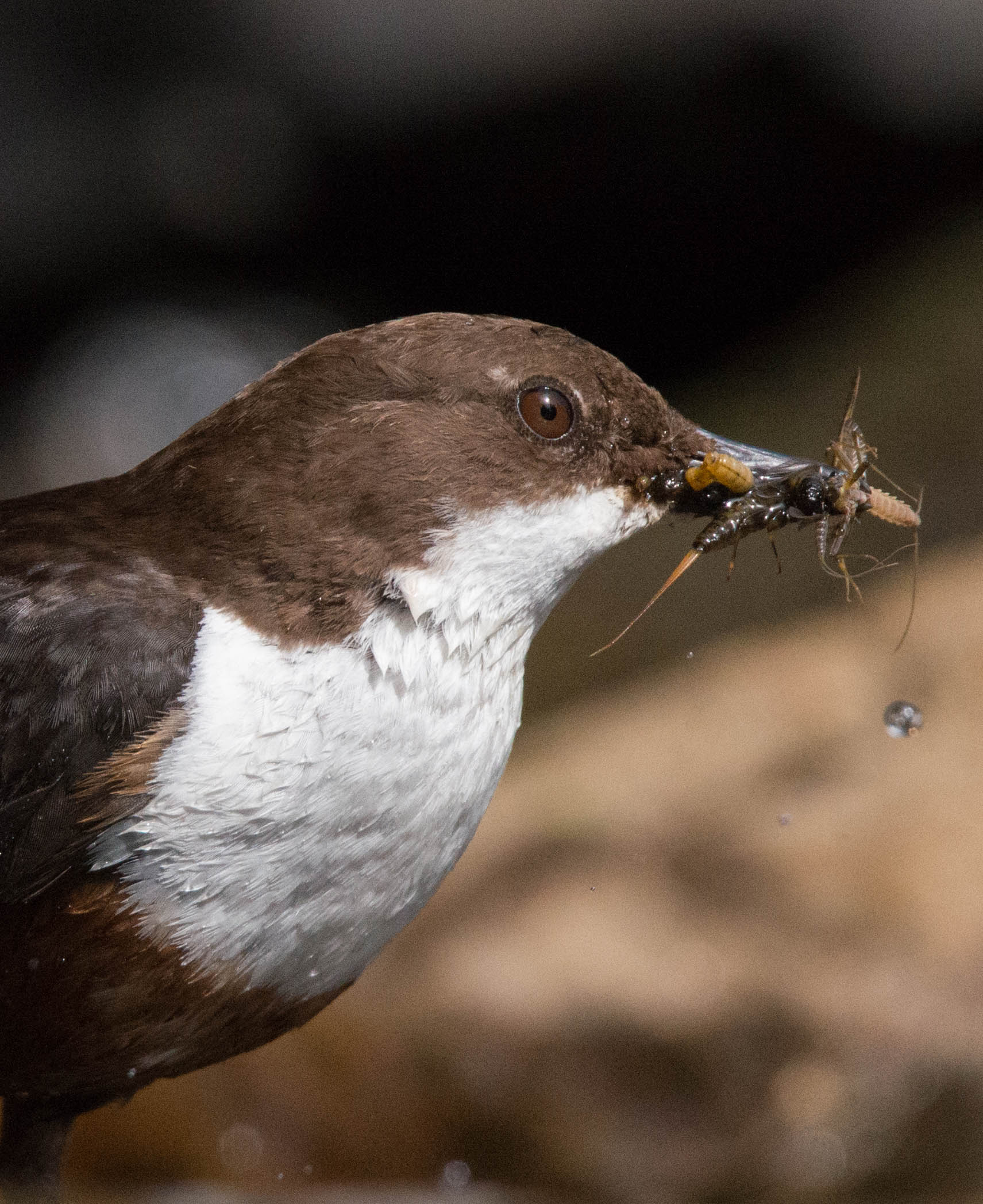 Dipper close up-5080[1].jpg