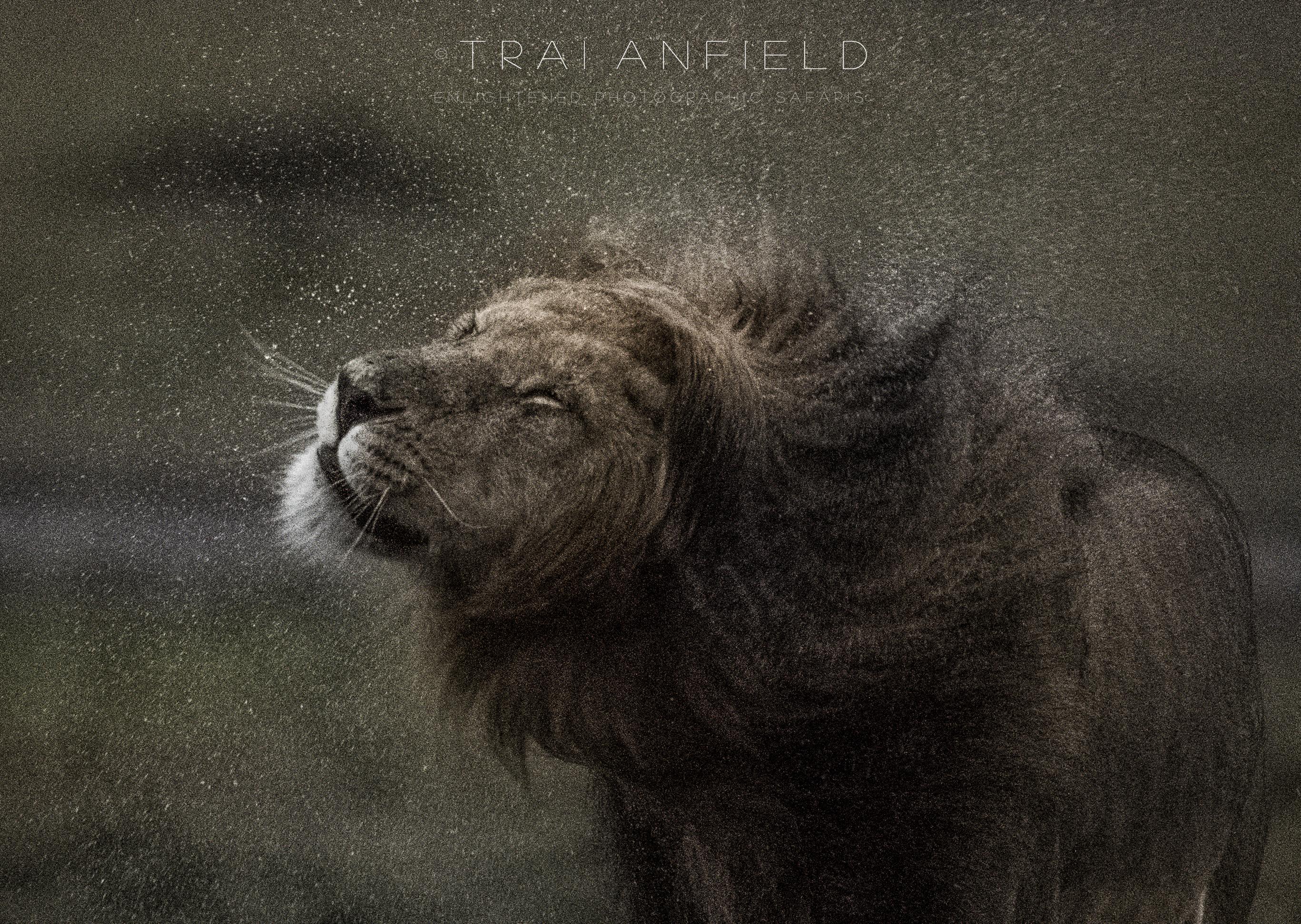Trai Anfield Enlightened Photographic Safaris Kenya Serian lion rain-0068_WEB.jpg