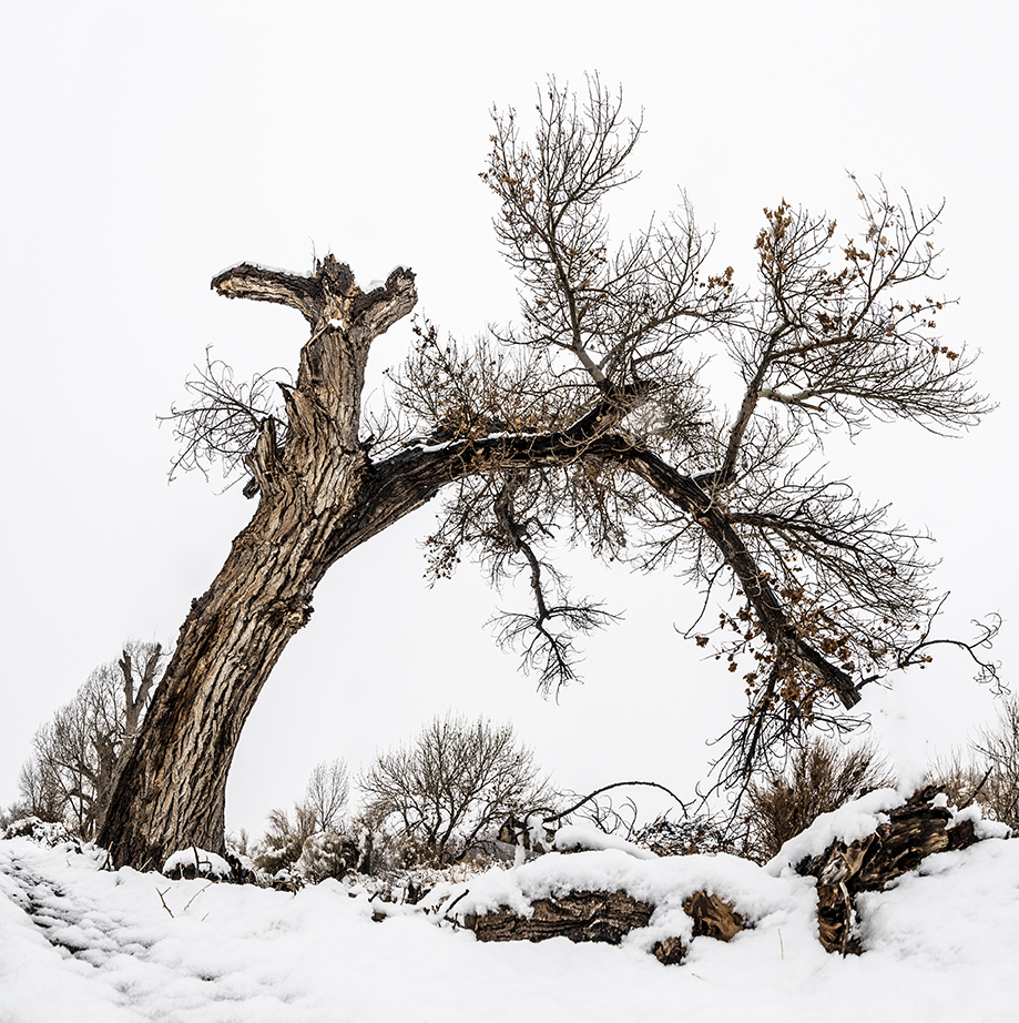 snowy tree Manzana internment camp- copy
