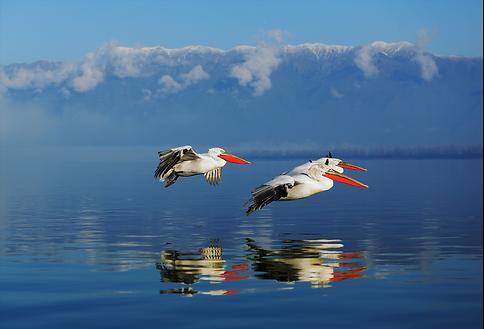Greece pelicans fly.png