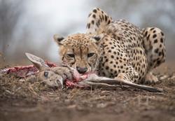 SA cheetah kill edit-7662_WEB.jpg