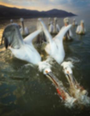 Greece pelicans fish.JPG