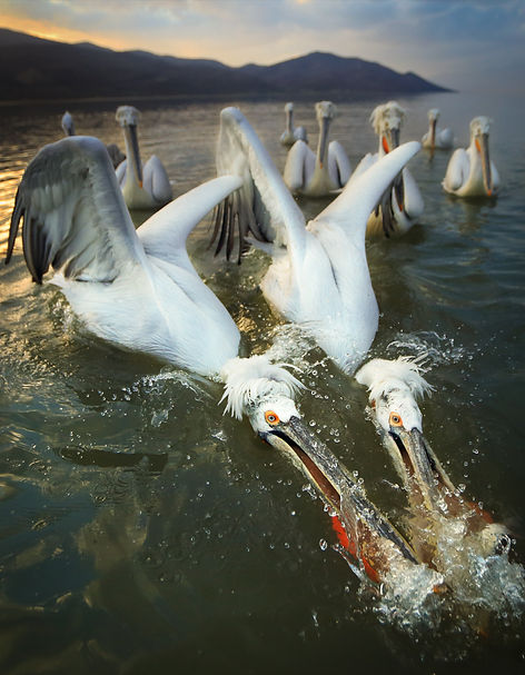 Greece pelicans fish.JPG