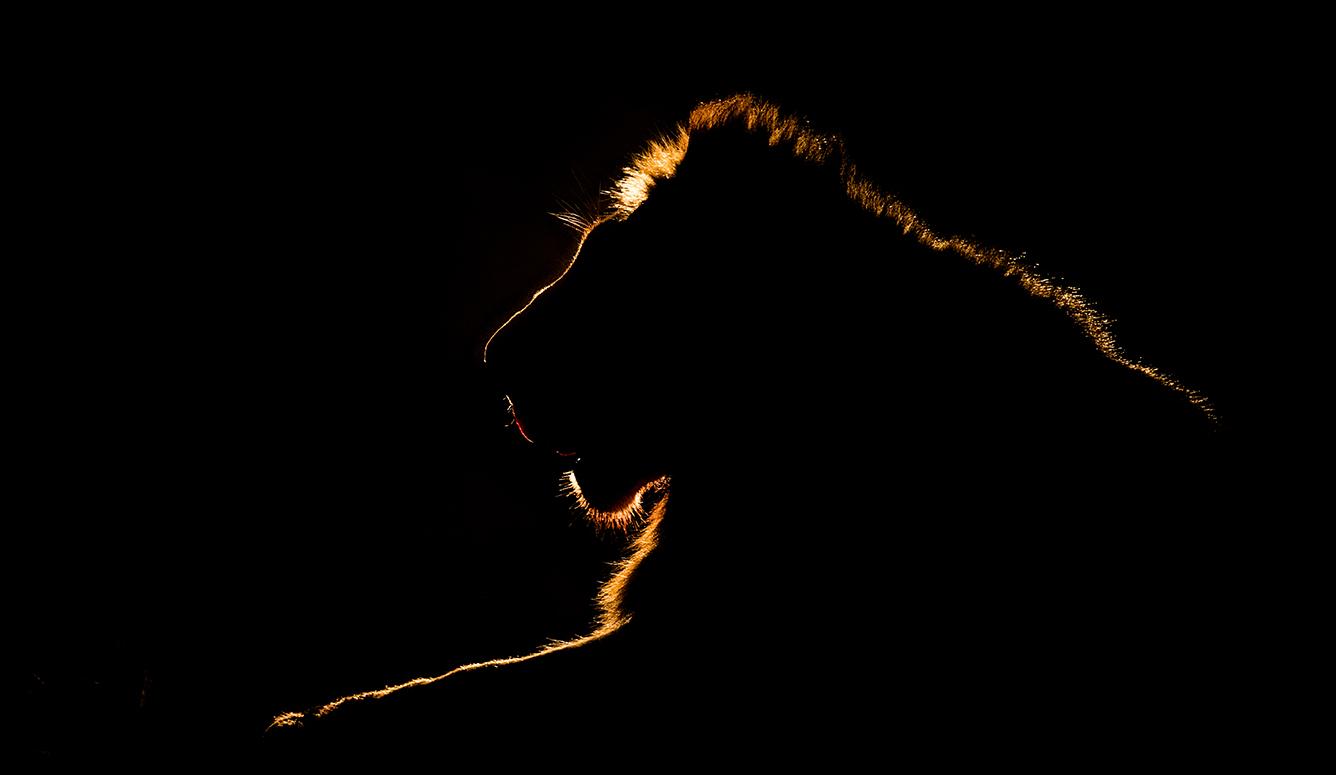 Zimanga lion night lights edit-1261_WEB.jpg