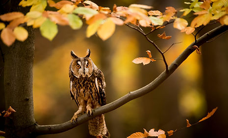 Raptors workshop image long eared owl