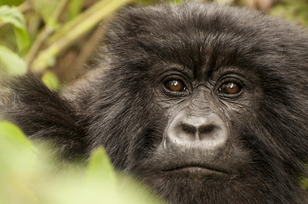 _DSC6924Mountain Gorilla, Rwanda, Volcanoes National Park.jpg