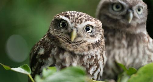 Raptors workshop image little owl