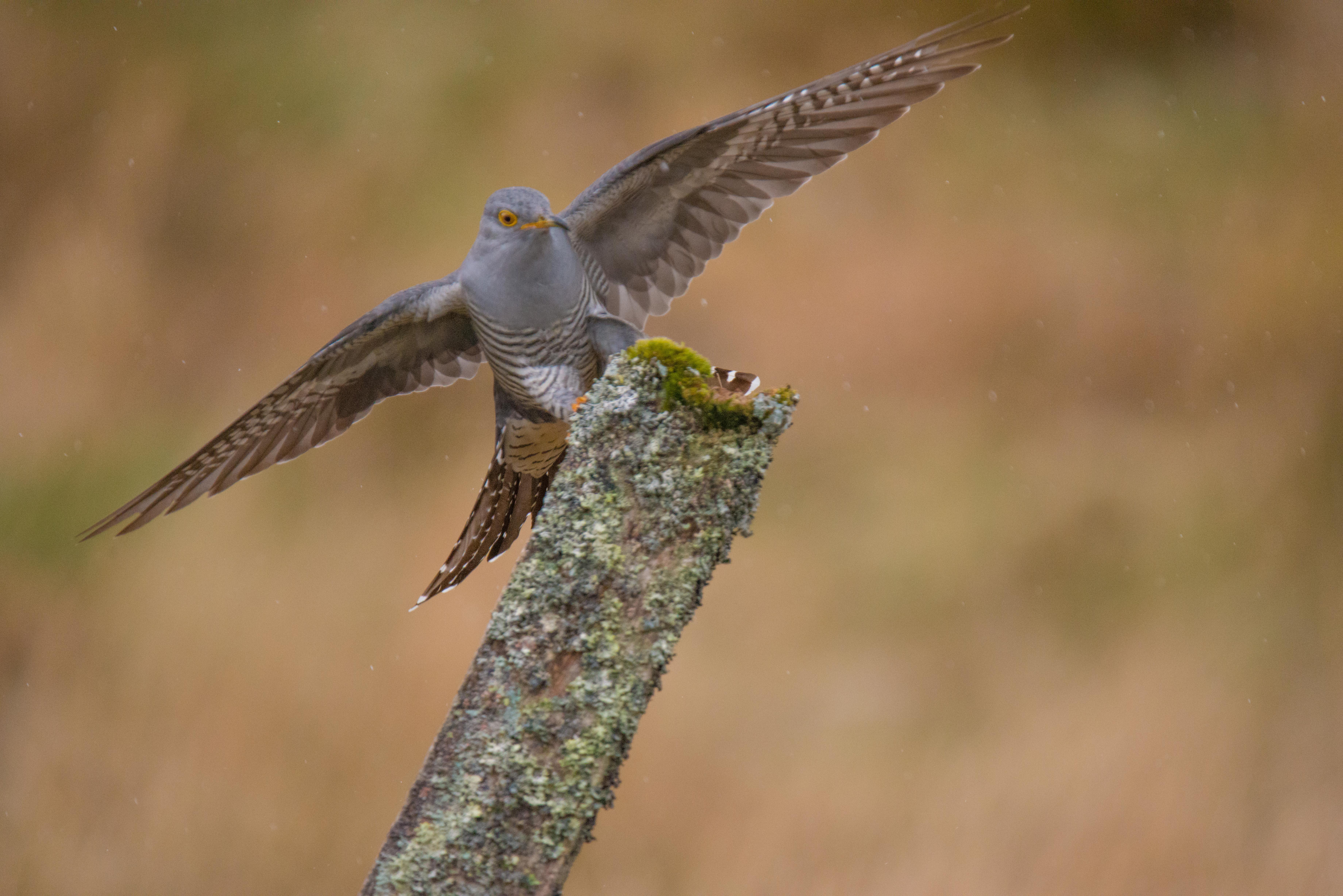Cuckoo landing-4900.jpg