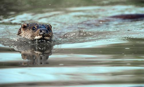 Spain otter_WEB.jpg