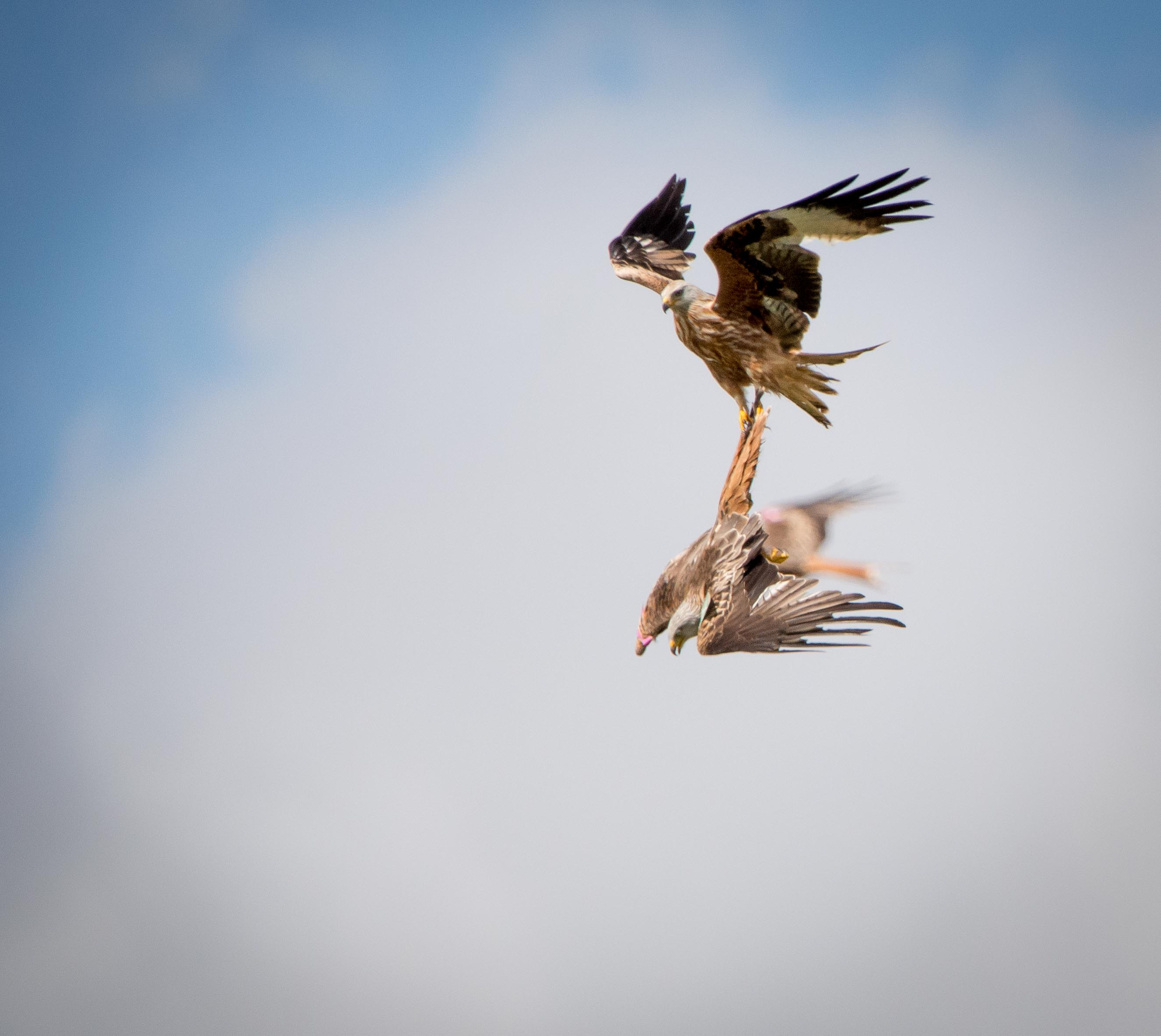 Red Kite - Tail grab-6557.jpg