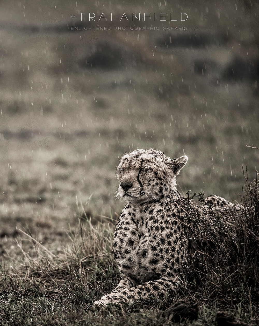 cheetah looking miserable in the rain, Mara North Conservancy