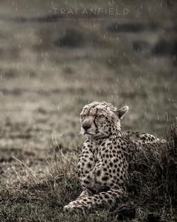 Trai Anfield Enlightened Photographic Safaris Kenya Serian cheetah rain-1184_WEB.jpg
