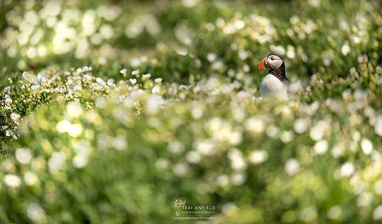 puffin in flowers-8694_EDIT_WEB_WM.jpg