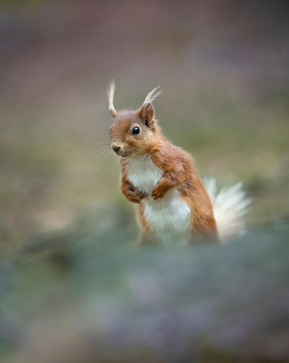 UK wildlife photography safari   red squirrel   Trai Anfield Photography Safaris