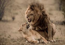 4 Trai Anfield Enlightened Photographic Safaris Kenya Serian lions mate-9717.jpg