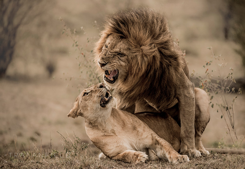 Trai Anfield Photography lions mating