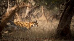 Tiger Lily Rhanthambore-7286_WEB.jpg