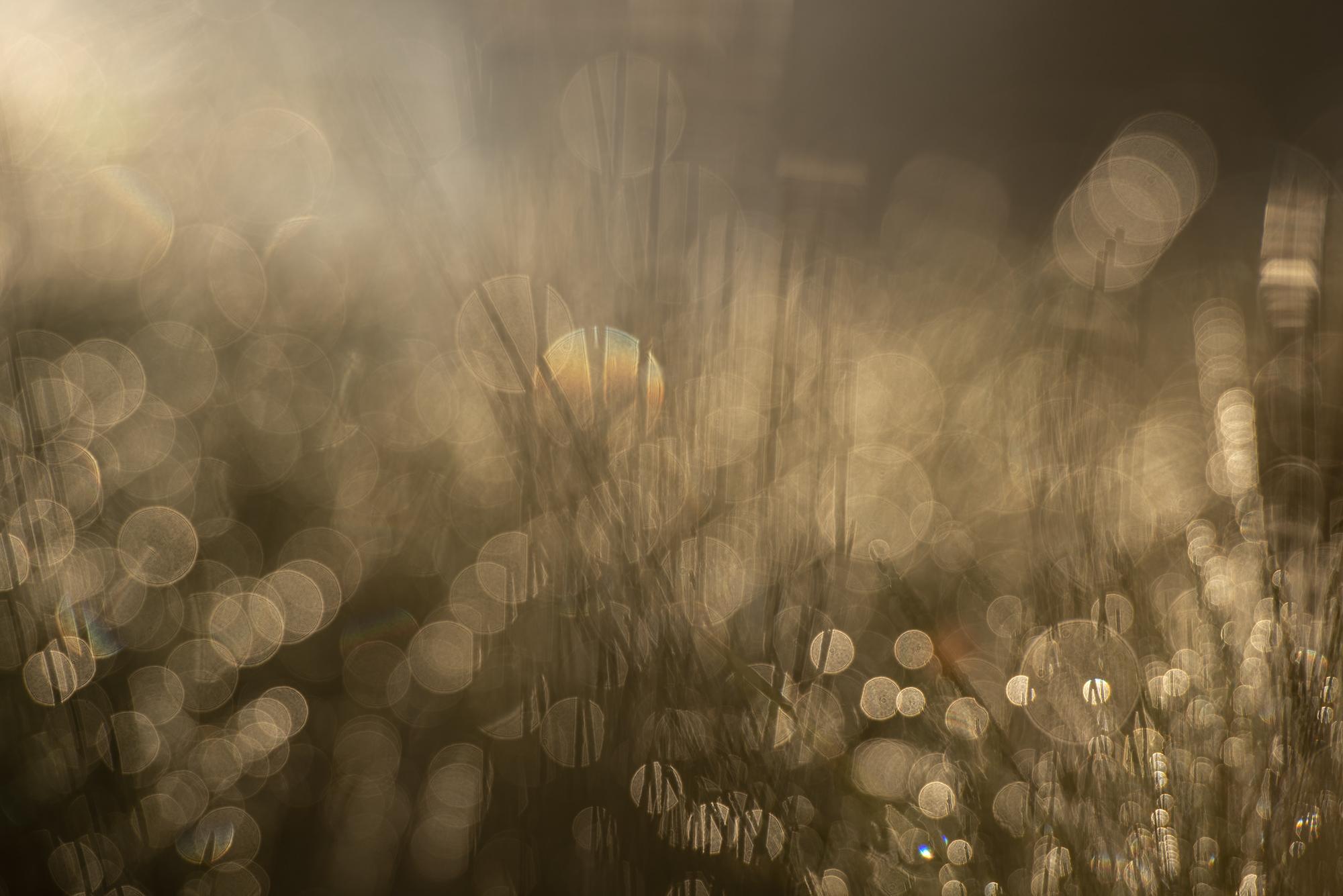 Dew On Reeds_DSC4353
