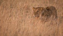 _DSC5077Lion Maasai Mara Kenya.jpg