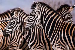 zebras edit-1974_WEB.jpg