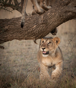 _DSC0189Lion, Maasai Mara, Kenya.jpg