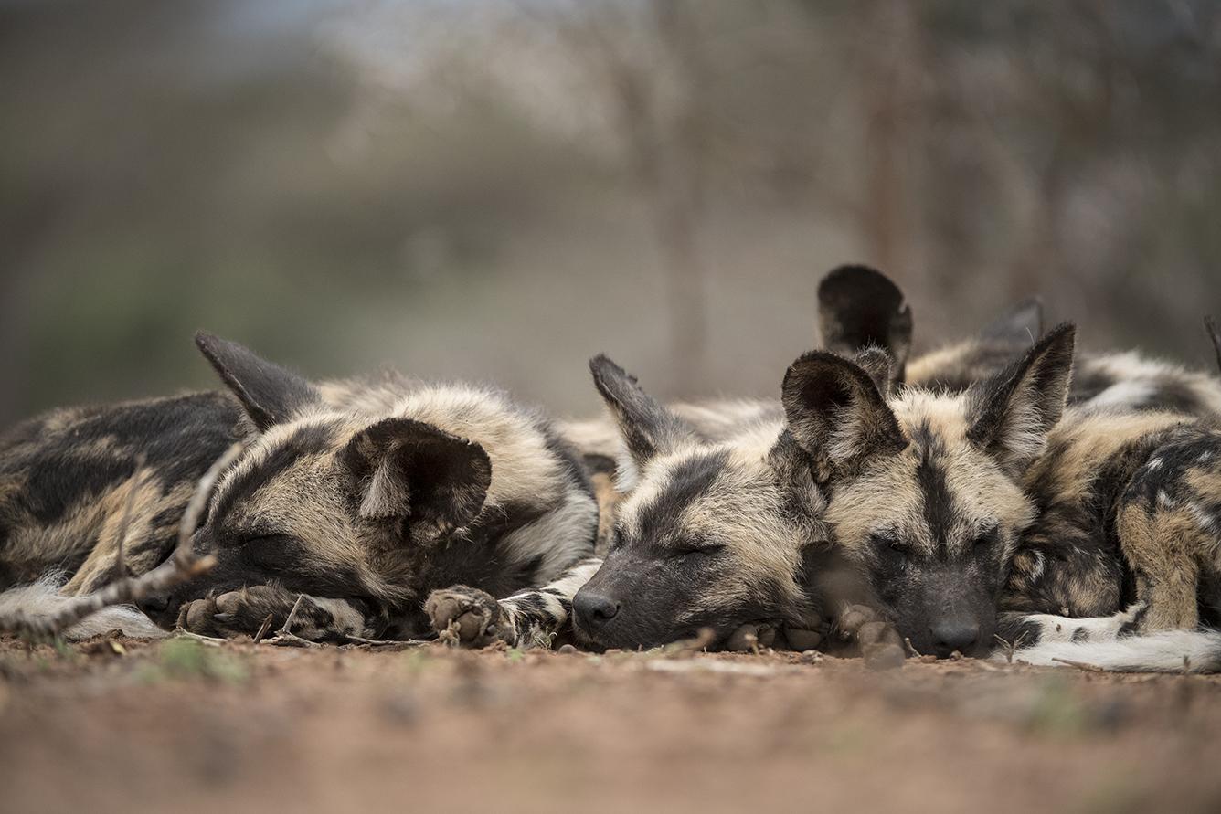 Zimanga wild dogs edit-8550_WEB.jpg