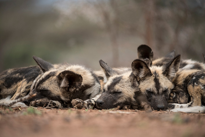 Zimanga wild dogs edit-8550_WEB.jpg