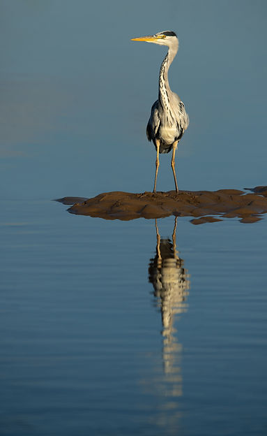 Lindisfarne heron reflection_DSC6816_WEB