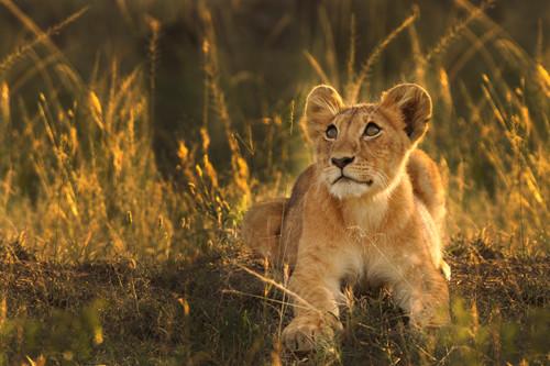 lioncubthumb.jpg