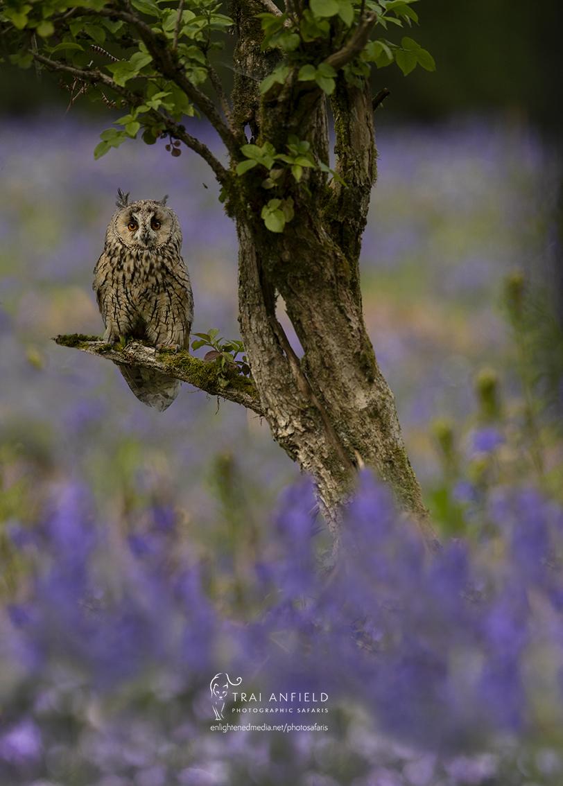 long eared owl in bluebells-9431_edit_WE